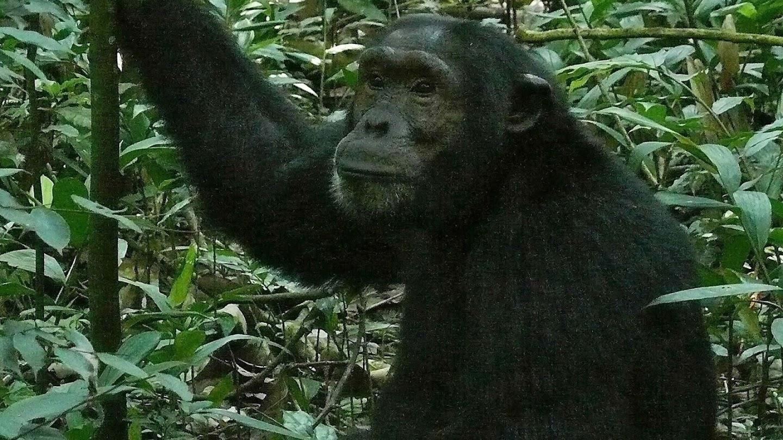Watch Going Ape live