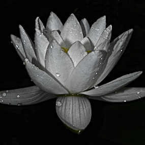 Waterlilly by Teresa Wooles - Nature Up Close Gardens & Produce ( watter lilies, balck and white, flower, water lillies,  )