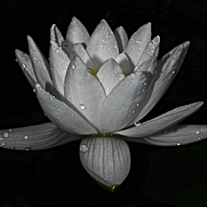 Single water lily.jpg