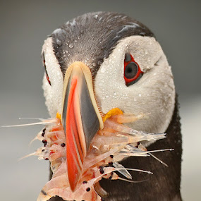 Atlantic Puffin by Herb Houghton - Animals Birds ( alcid, shrimp, atlantic puffin, herbhoughton.com, krill, puffin )