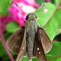African Straight Swift, Grey Swift or Ceylon Swift Butterfly