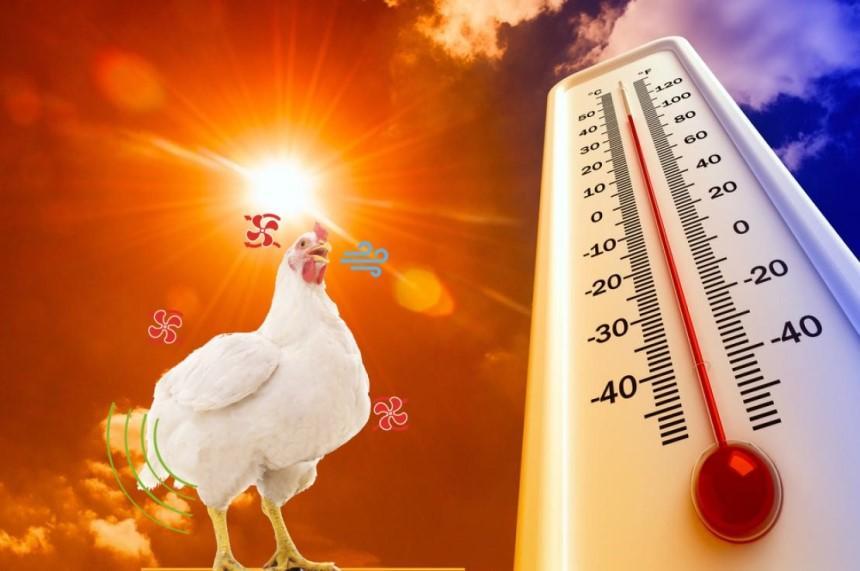 Stress nhiệt làm giảm năng suất vật nuôi