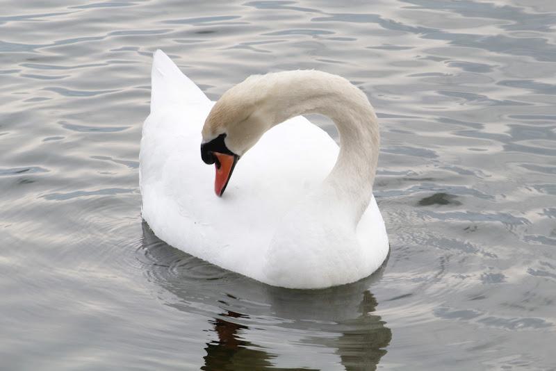 Viverone Lake's Swan di Andrea15