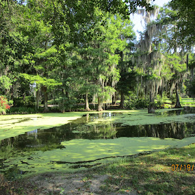 Alligator Pond by David Jarrard - City,  Street & Park  Street Scenes ( water, swamps, moss, lily pads )