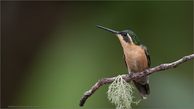 """Photo: A Pretty Female  As with most hummingbirds, the females are different then the males, which makes things much more interesting for the naturalist.  Here she sits, waiting for her chance to move in for some food, being patient. The light is all natural, and the moss is never """"planted"""" in my images, we like to say, """"it is what it is!""""  Raymond - thanks for looking and sharing.  Female Mountain Gem RJB Colours of Costa Rica Tour www.raymondbarlow.com 1/1000s f/4.0 at 400.0mm iso640  #raymondbarlow #hummingbird #hummingbirdphotography #costarica #phototour #photography #photoworkshop  #hqspbirds +HQSP Birdsby +Philippe Avenel+Suzi Harr+Andy Brown #birdsgallery +Birds GALLERYby +Heinrich Wagner+Susan Wilkinson #birds4all +Birds4Allby +Walter Soestbergen+Ricky L Jones #photomaniacanada #naturephotography #birdphotography  #birdphotographs #googlephotos #googlephotography #wildlifephotographer #raymondbarlownaturephototours #nature #naturephotography #travel #travelphotography #nature #wildlifephotographers #wildlife"""