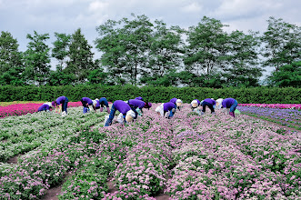 Photo: July 28, 2012 - Works at the flower fields in Hokkaido