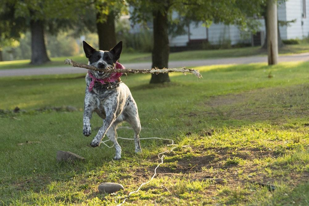 Australian Cattle Dog Pictures | Download Free Images on Unsplash