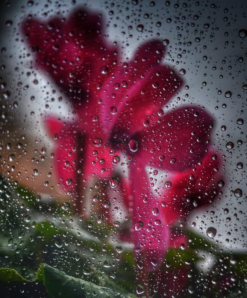 Ciclamini visti dall'interno mentre fuori piove di gianfi51