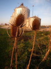 Photo: Thistle, North of Normal