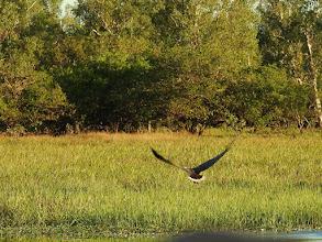 Photo: Day 3 -  White-bellied Sea-eagle