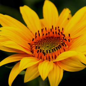 Single Sunflower by Karen Harris - Flowers Single Flower ( petals, sunflower, bloom, yellow, flower,  )