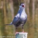 Whskered Tern; Fumarel Cariblanco