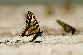 Photo: Eastern Tiger Swallowtail butterfly on beach.