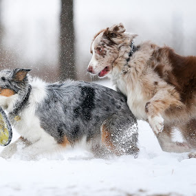 Mine by Peter M  - Animals - Dogs Playing