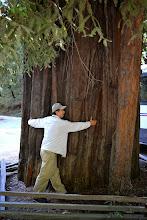 Photo: Redwood Tree