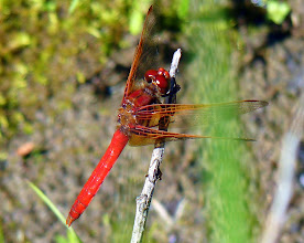 Photo: Red Dragonfly