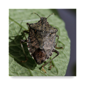 Midwest Stink Bug Assistant