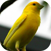 Bird Singing: Canary