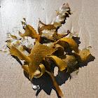 Golden Kelp
