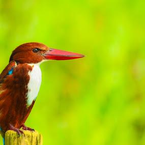 Mr.Handsome by Suman Basak - Animals Birds ( bird, nature, grass, green, wildlife, blur, portrait )