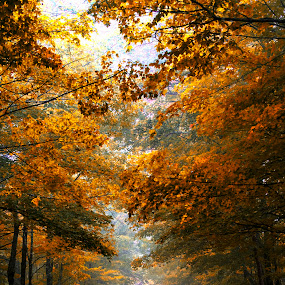 Trees by Bill Frische - Landscapes Forests ( orange, red, autumn leaves, tree, color, green, fall )