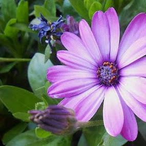Pretty in Purple. by Allmen Quester - Flowers Single Flower