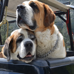 Saint Bernard Buddies by Nancy Lowrie - Animals - Dogs Playing ( whiskey dogs, dogs, riding, k9, st. bernard,  )
