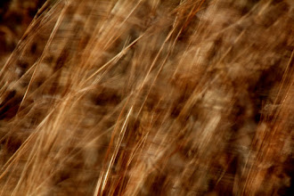 Photo: Blowing in the Wind  #365Project curated by +Simon Kitcher  #GrassTuesday +Ray Bilcliff