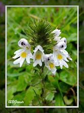 Photo: Euphraise officinale, Euphrasia officinalis subsp. monticola