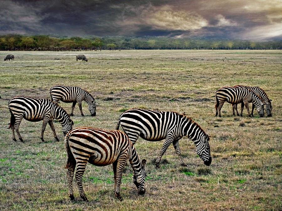 Zebras by Khaled Ibrahim - Animals Other Mammals