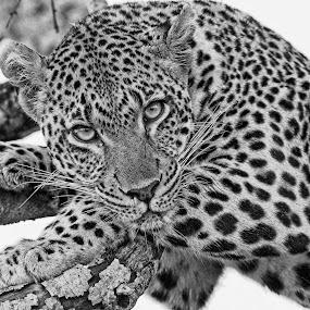 Tutlwa female leopard by Anthony Goldman - Black & White Animals ( big cat, wild, predator, female, londolozi, leopard, mashaba, black & white, macro, , Africa, Safari, black and white, animal )