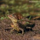Basilisk (male & female)