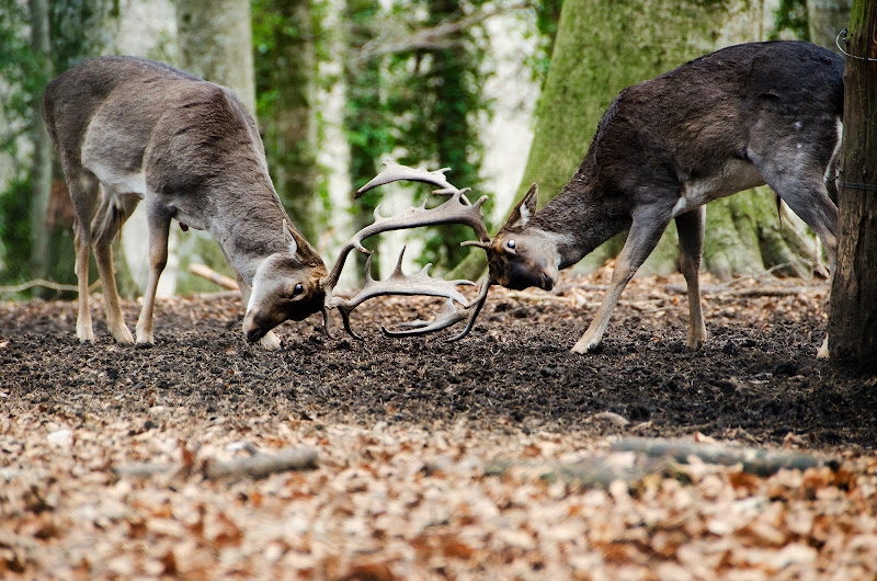 Deer fight di Matteo Quitadamo