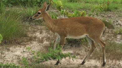 Photo: Female duiker; Fêmea de bambi.