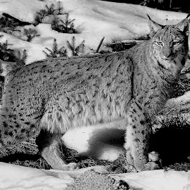 Lynx femelle by Gérard CHATENET - Black & White Animals