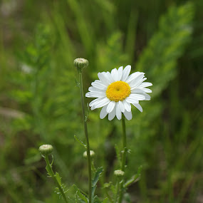 Daisy & buds by Michael Velardo - Flowers Flowers in the Wild ( wildflowers, daisy_buds, nature, daisy, flowers,  )