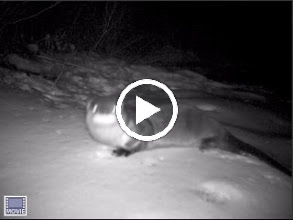 Video: Video of Tisbury Great Pond Otter