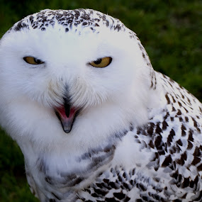 I Dare ya! by Helen Quirke  - Animals Birds ( bird, birds of prey, white, owl, downey,  )