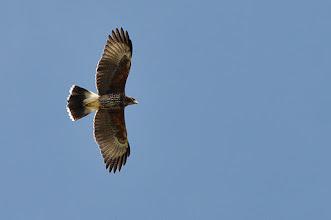 Photo: Harris' Hawk (Wüstenbussard), juv.; Totoltepec de Guerrero, PUE