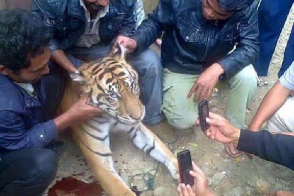 Residents of the Indonesian village of Sibide pose with a dead Sumatran tiger, a critically endangered species. Pictures of the photo session sparked a public outcry when they were posted to Facebook in February. Photo: Backpacker Nusantara