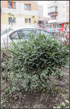 Photo: Turda - Str. Macilor -  Cimisir - (Buxus sempervivens)  - 2018.03.17