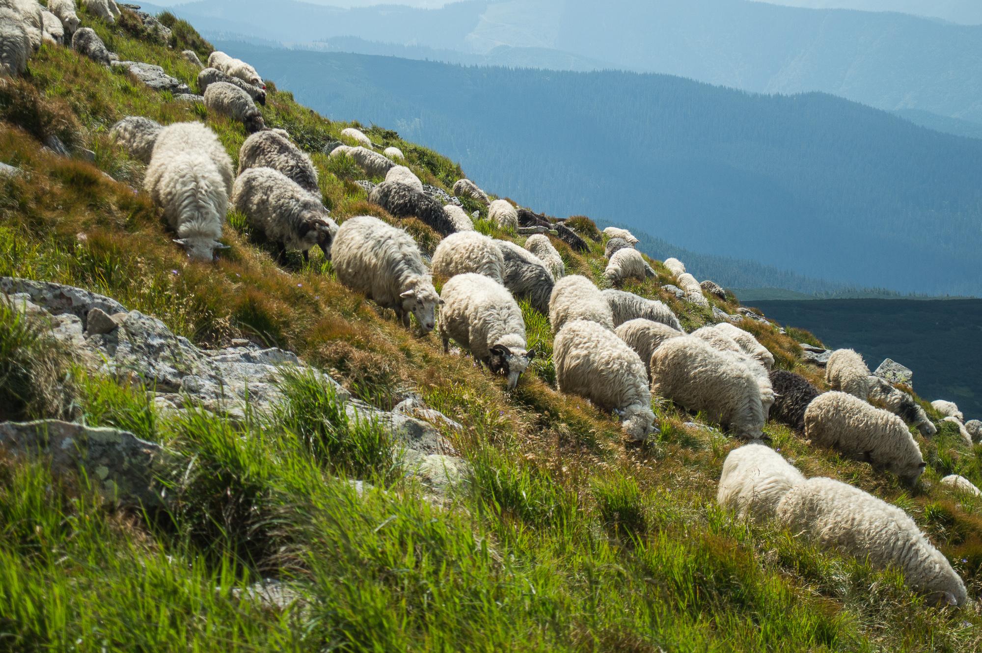 Вівці під Говерлою