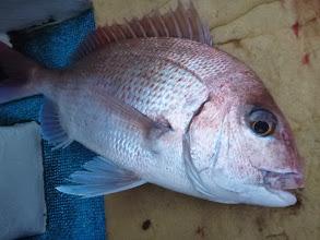 Photo: 真鯛キャッチ! ・・・ですが、あと1匹付いていたらしく 切られてます!