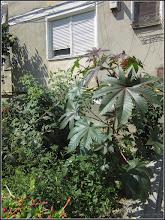 Photo: Ricin (Ricinus communis) - de pe Str. Rapsodi, spatiu verde bloc - 2017.08.03