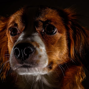 The Night Watch by Colin Harley - Animals - Dogs Portraits ( face, speedlight, flash, nikkor, 50mm, close up, kooiker, portrait, colour, red, d740, shadow, nikon, dog )