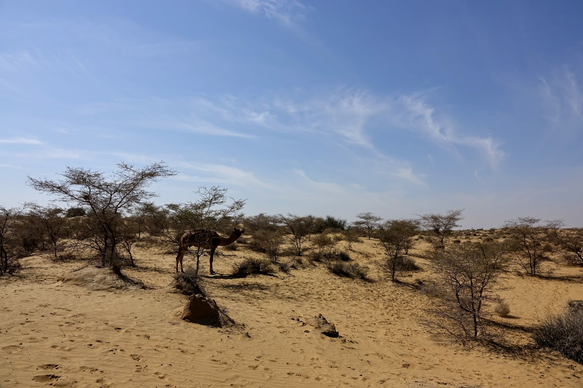 India. Rajasthan Thar Desert Camel Trek. Lunch stop at the Lokhri Dunes