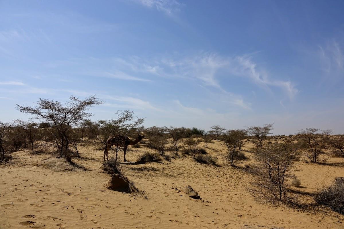 India. Rajasthan Thar Desert Camel Trek. Lunch stop at the Lokhri Dunes