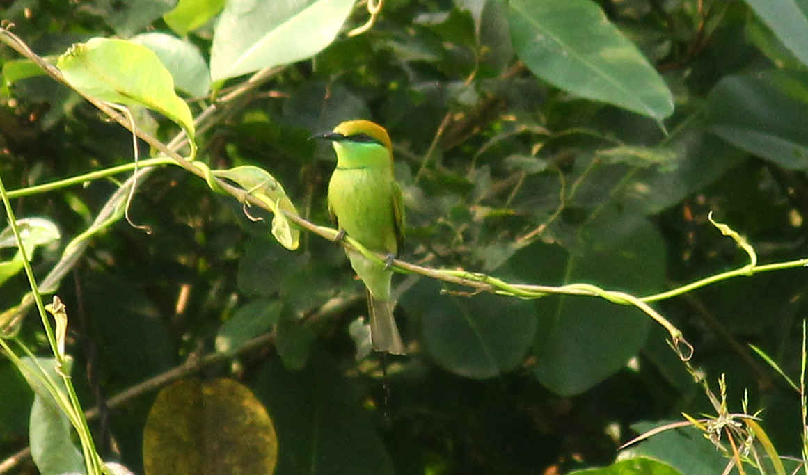 Green Bee-Eater
