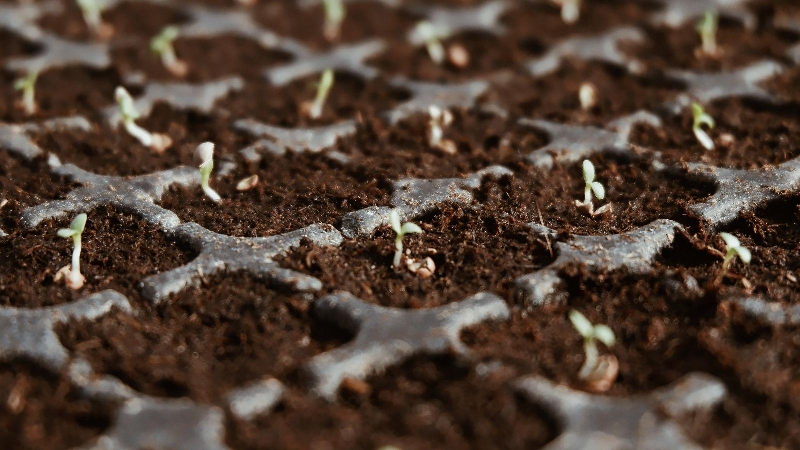 Seedlings growing in a seedling tray