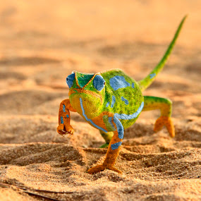 by James Blyth Currie - Animals Reptiles ( sand, wild, entabeni game reserve, south africa, 2011, reptile, chameleon )